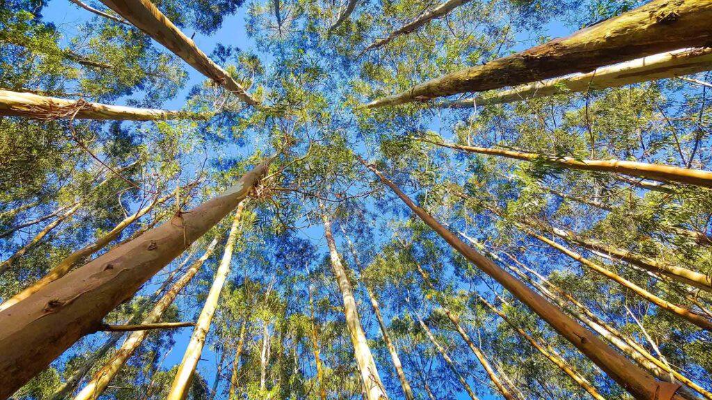Pellet di Eucalipto o Eucalytpus dal Brasile